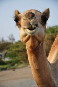Camel - Masirah Island Kiteboarding